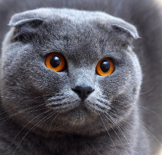 Scottish Fold                                                                                                                                                      More
