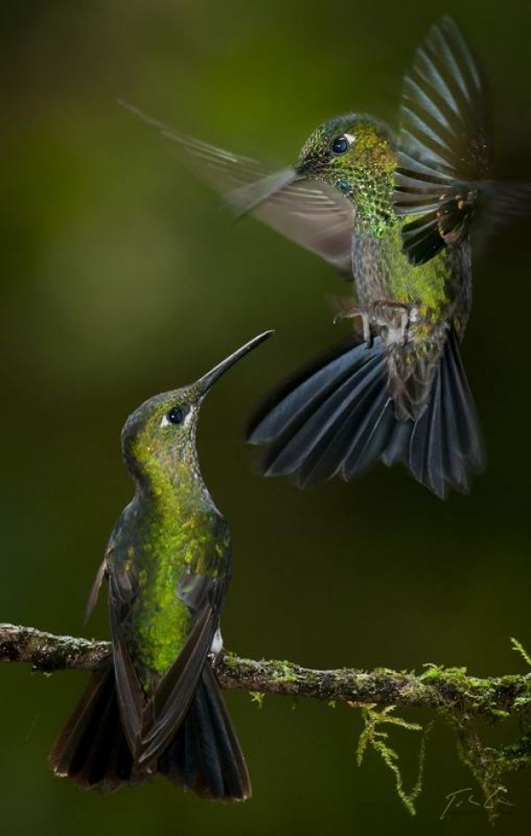 Hummingbirds. I have many of them where I live. Mine often buzz me when I'm on the deck, especially if their feeder is low on nectar!