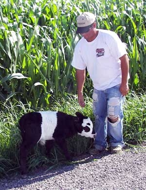 Ahhh!!!! A mini panda cow!!!! I want one! In my house! :D