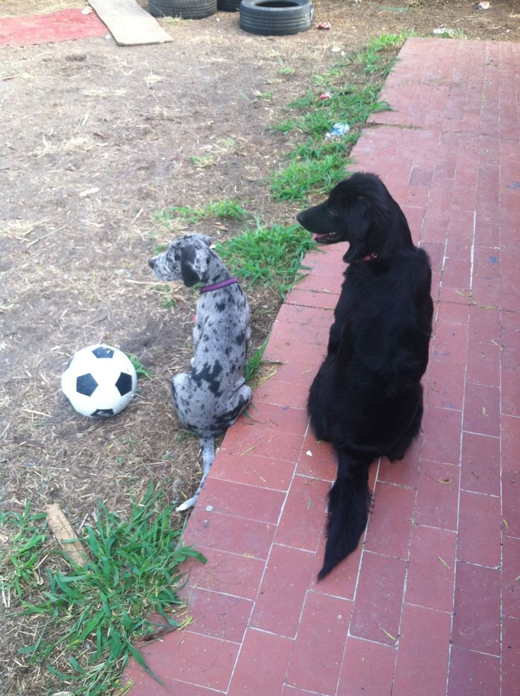 Great Dane puppy Pongo and black lab Princess