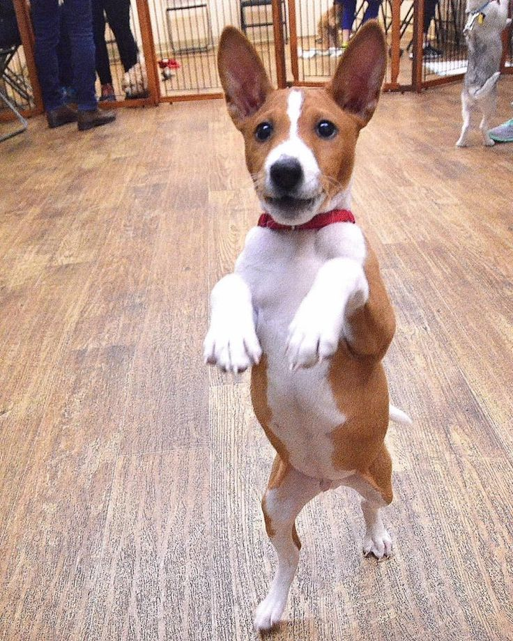 "Enzo the #Basenji learning all the moves to the ""Thriller"" dance"