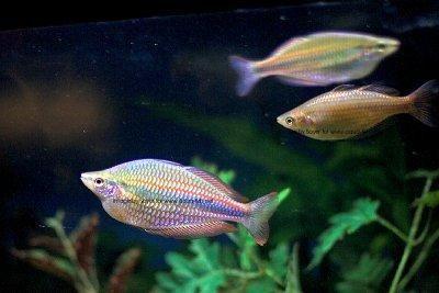 Melanotaenia praecox -   Neon rainbowfish