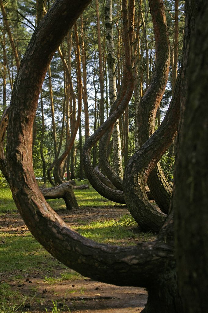 The Crooked Forest, Poland -- by krzywy las