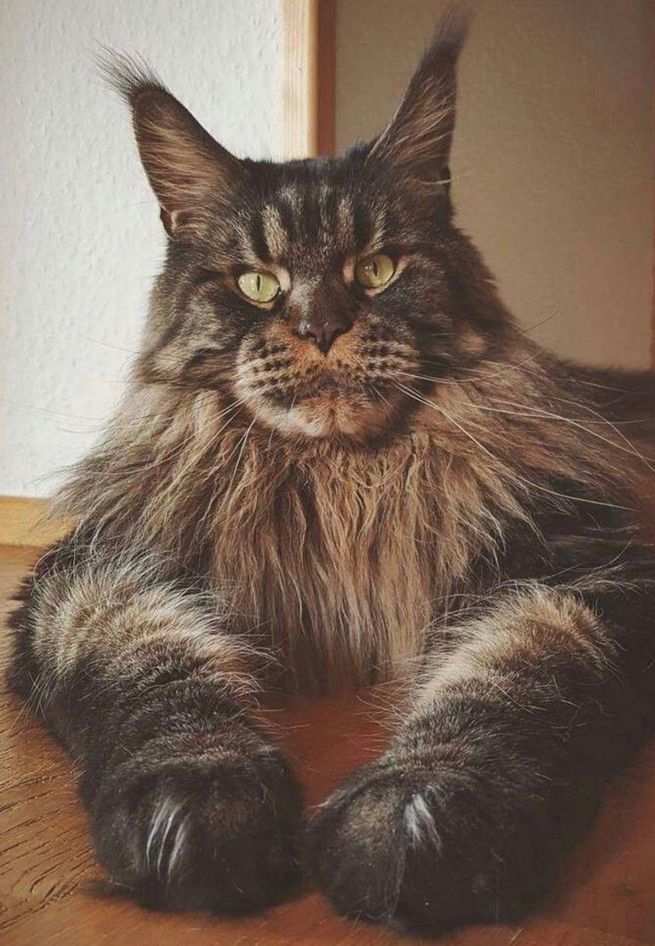 врач заорал, картинку майкуна вместе с персидским описанию, тайская кошка