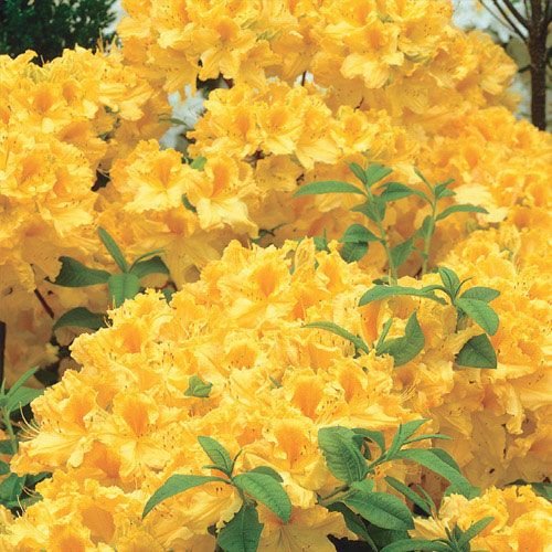 Golden Lights Hardy Azalea | Michigan Bulb | A Welcome Addition For  Northern Gardeners! This · Shade PlantsShade ...