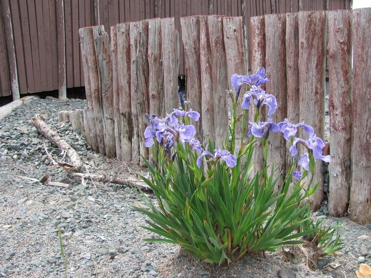 sea weathered fence and wild iris