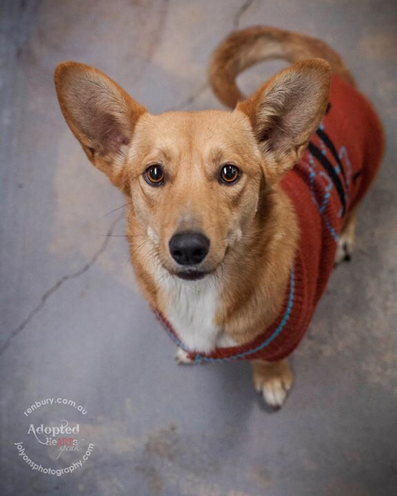 I met this gorgeous little girl late on Saturday afternoon... she was safe with Sydney Animal Second-chance Inc. and I couldn't resist taking her photo. I saw the fantastic update today that she has found her forever home! Happy life little lady \u003C3