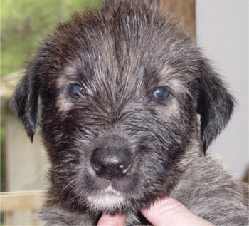 One day I will have an Irish Wolfhound. One day.