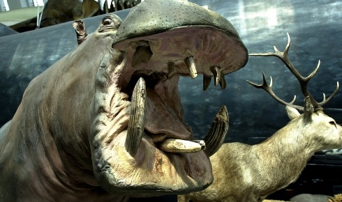 Hippopotamus with it's huge mouth wide open. NHM