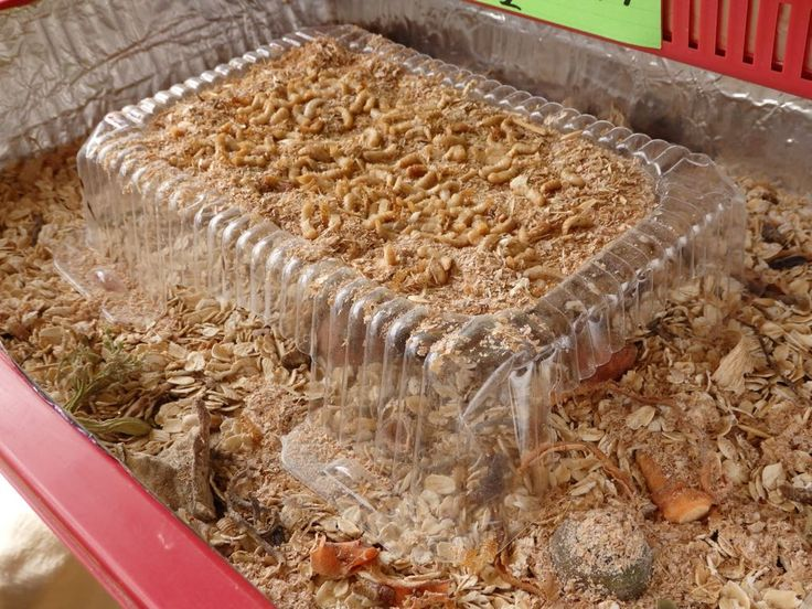 how to raise mealworms pdf