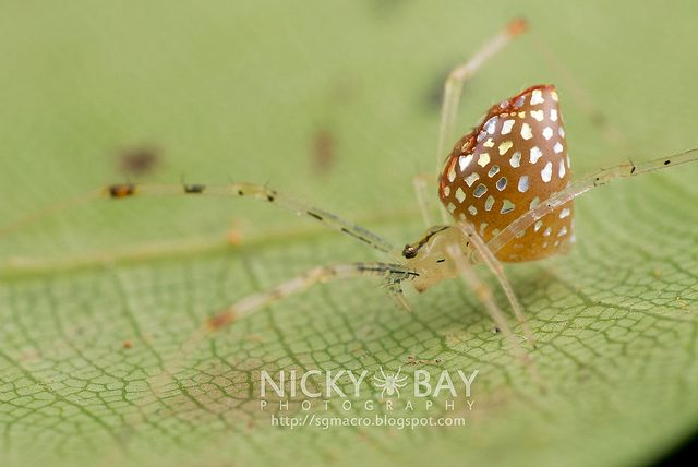 Amazing insect photography by Nicky Bay, Mirror Spider