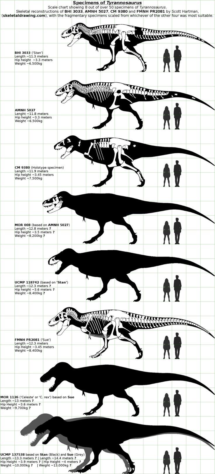 Spécimens de Tyrannosaurus.