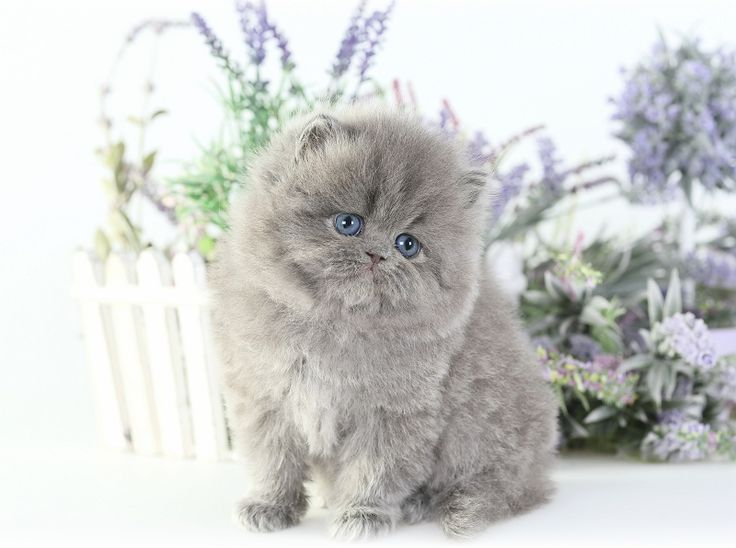 Persian cat for sale okc
