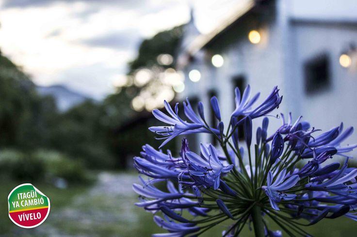 Flor agapanto Casa Museo Ditaires de Itagüí