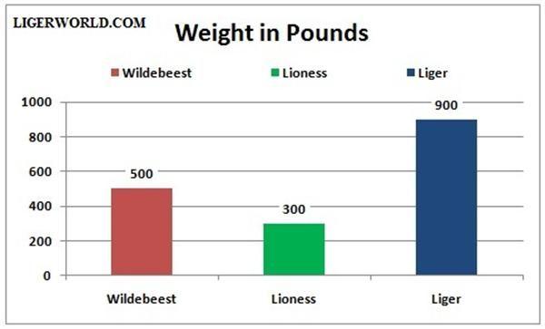 Liger vs Wildebeest - A weight Comparison. Liger Weighs around 900 Pounds. Wildebeest Weighs around 600 Pounds.
