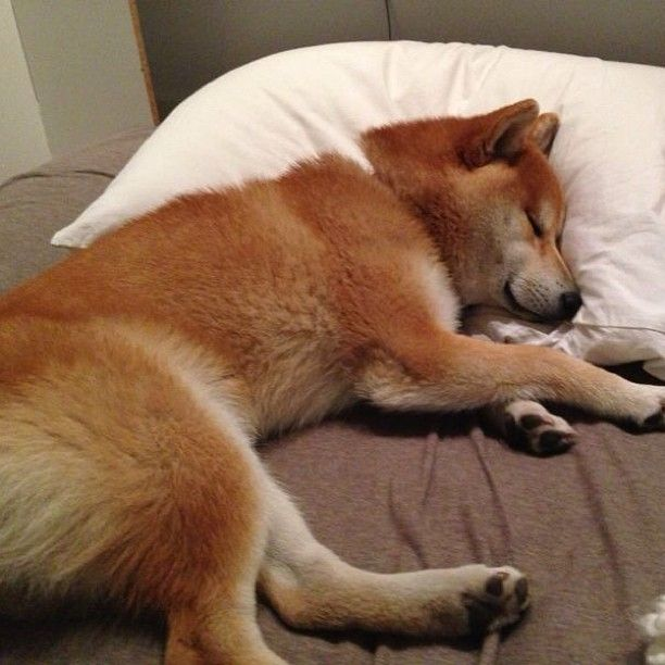 Sleepy shiba inu baby.