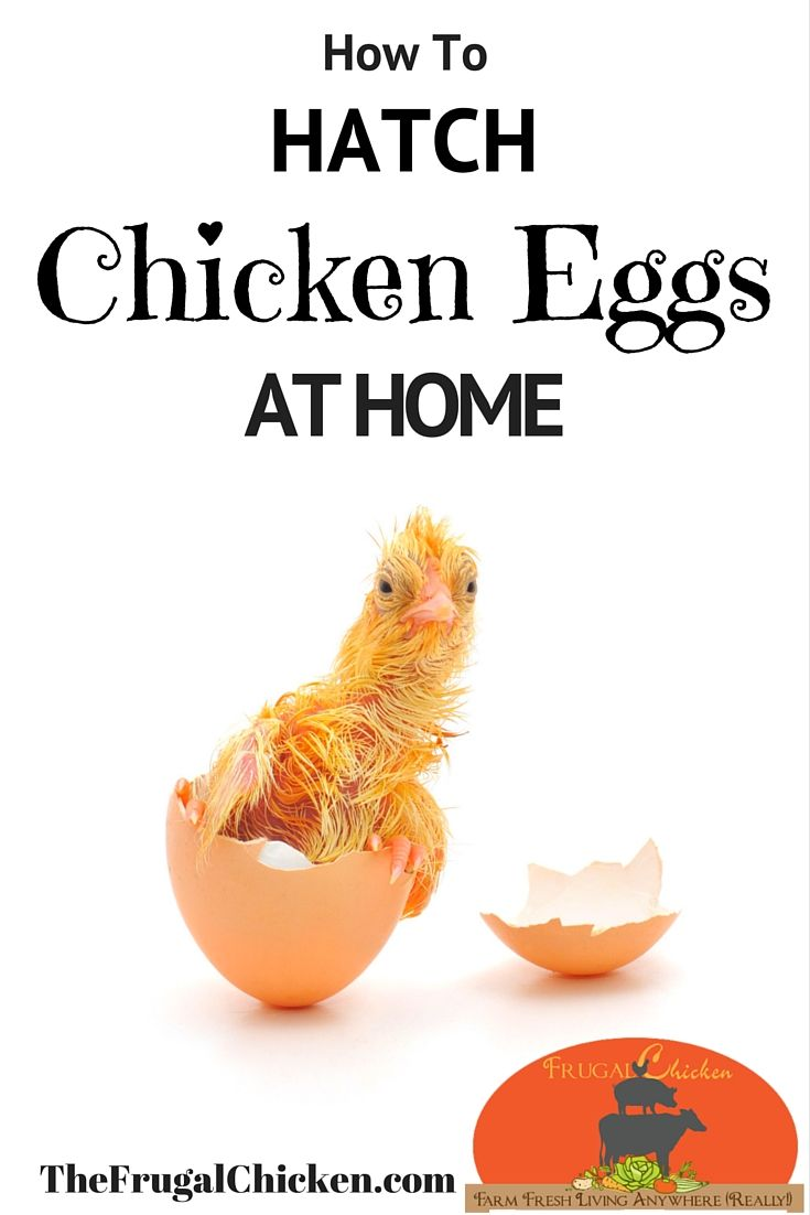 Incubating chicken eggs in your own home is simple as long as you follow some hard and fast rules. In this article, you'll learn everything you need to know to hatch chicken eggs at home. From FrugalChicken #chickens #incubate