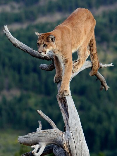 The cougar (Puma concolor), also known as the mountain lion, puma, panther, mountain cat, or catamount, is a large cat of the family Felidae native to the Americas.