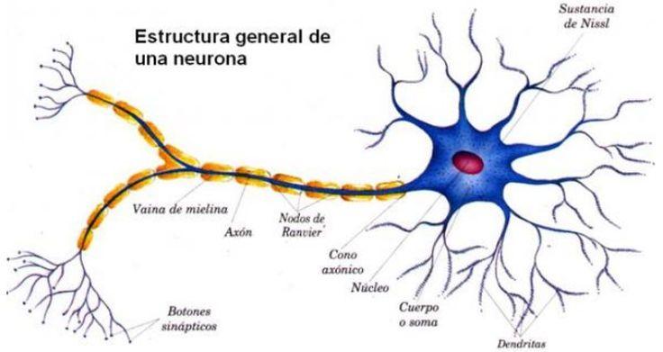232 best ANATOMÍA images on Pinterest | El cerebro, Neurociencia y ...