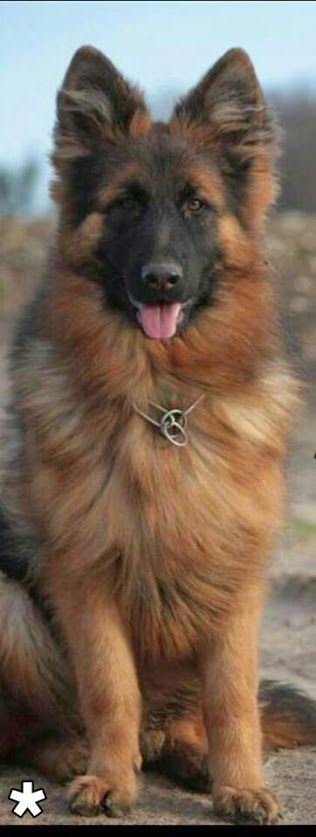 Adorable German Shepherd Dog