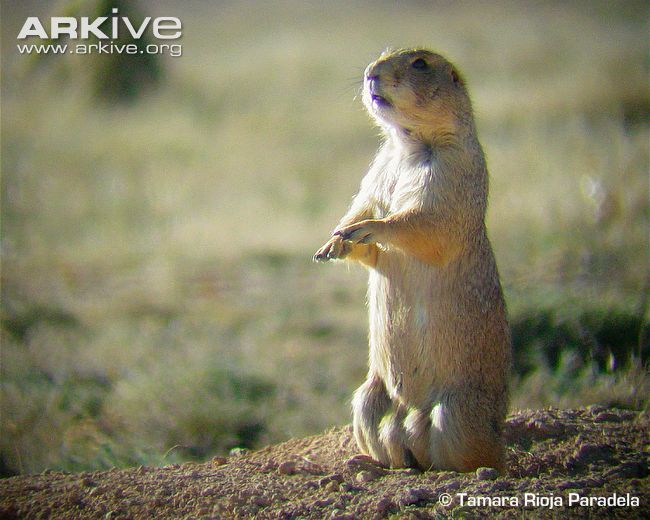 Mexican prairie dog videos, photos and facts - Cynomys mexicanus | ARKive