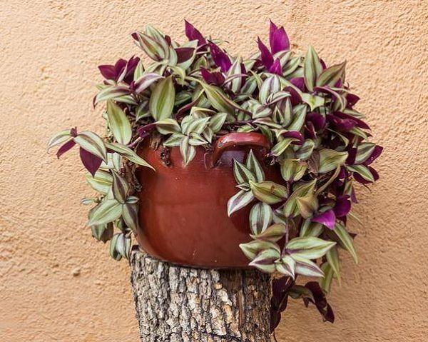 19.- La tradescantia es una planta de interior con flor que tiene crecimiento rastrero lo que la hace ideal para cestas y macetas colgantes. Puede crecer con poca luz pero perderá el bonito colorido de sus hojas variegadas.