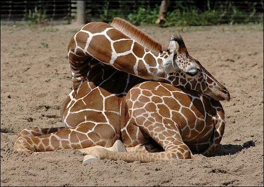 Asi duermen las jirafas