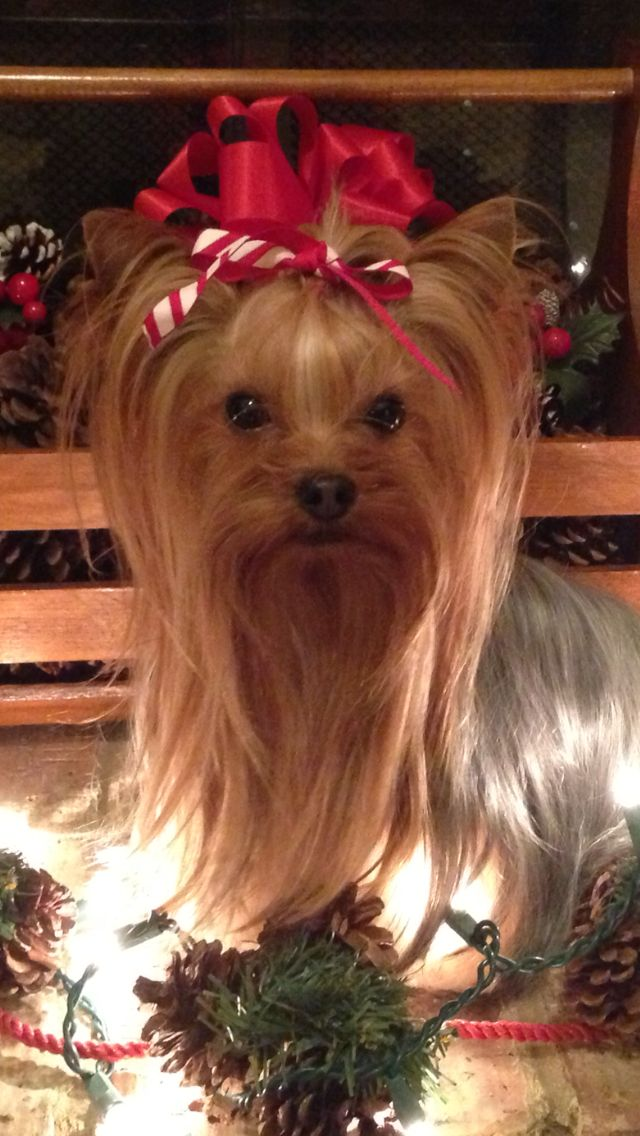 66 Best Yorkies Christmas Images On Pinterest Yorkies