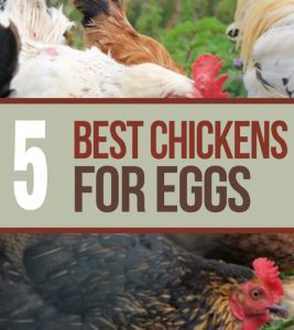 The 5 Best Chicken Breeds For Laying Eggs! Increase your egg production by adding these breeds to your flock.