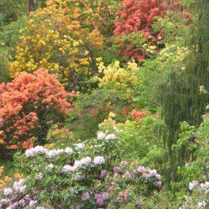Rhododendrons in Bloom Crarae Gardens. Natasha Marshall Blog