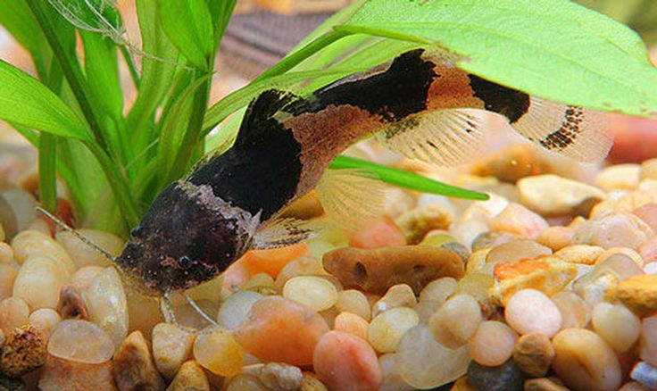 Want to learn more about Bumblebee Catfish? Check out the Bumblebee Catfish Wiki and if they are right for your aquarium. Bumblebee Catfish for sale