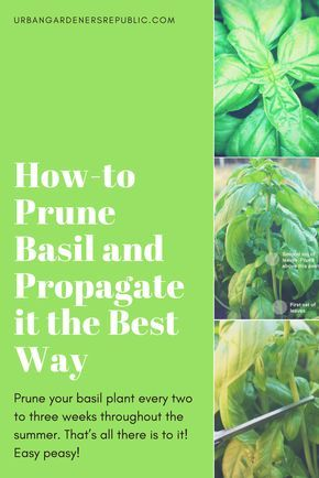 "How-to Prune Basil and Propagate it the Best Way Prune your basil plant every two to three weeks throughout the summer. That's all there is to it! Easy peasy! See our ""How to Prune Basil"" photo guide now."