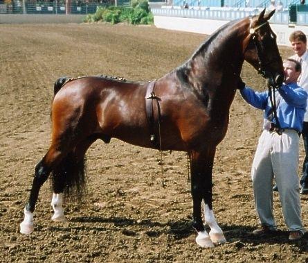 Hackney Horse | ... Kohav, Hackney stallion. Hackney is known ... | Hackney Horse & Po