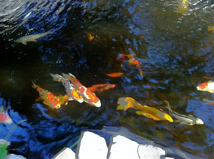 Pond of koi - photo by Cedes Buck