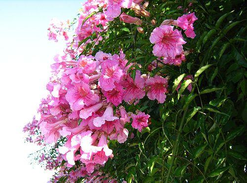 La Bignonia Rosada de la familia Bignoniáceas, género Podranea, especie Ricasoliana; es una planta trepadroa y leñosa, de crecimiento muy rápido.