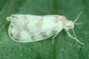 Learn how to get rid of Whitefly on your plants with this help and advice in this Garden Pests Guide.