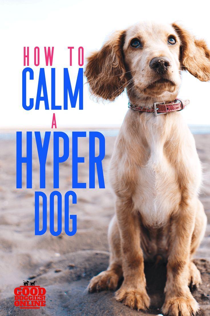 Simple Ways on How to Calm a Hyper Dog Hyper dog