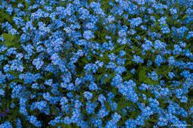 forget me not flowers -