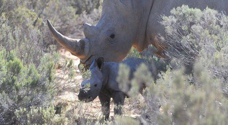 Find out more about newly born white rhino and where you can go to see it!