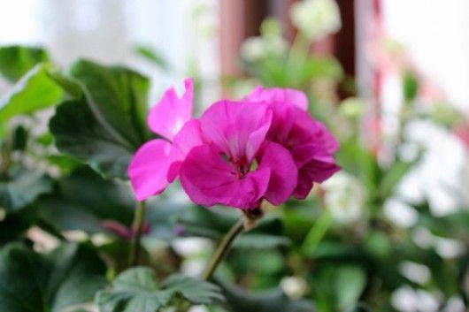 how to get geraniums to bloom indoors