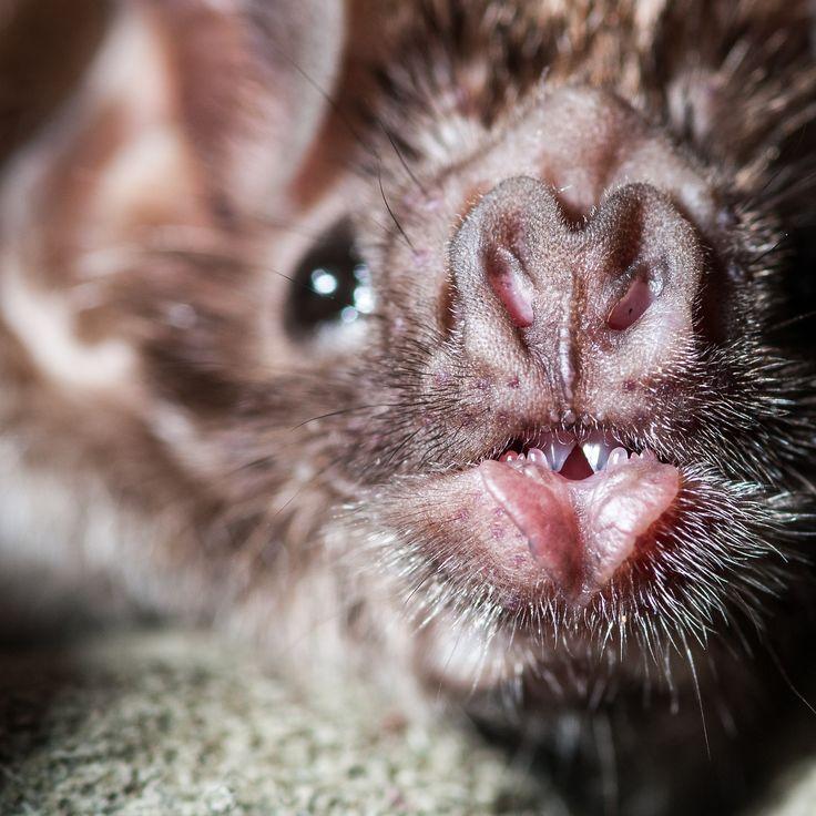 57 best chauves souris de sologne d couverte des - Bat and poppy wallpaper ...