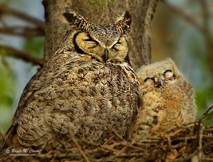 owls bird photos | image mother.owl+baby.c04.25.2012.C45I8799.e-1004.jpg is Copyrighted ...