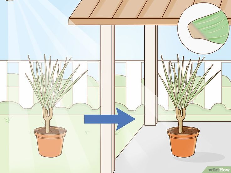 Image titled Care for a Madagascar Dragon Tree Step 15