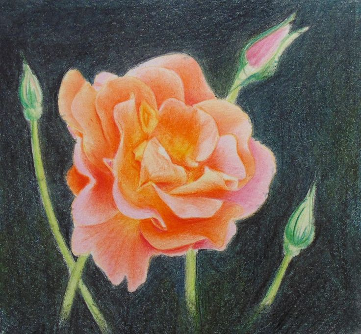 How to draw roses in colored pencil