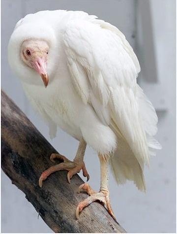 Albino buzzard - beauty is in the eye of the beholder!