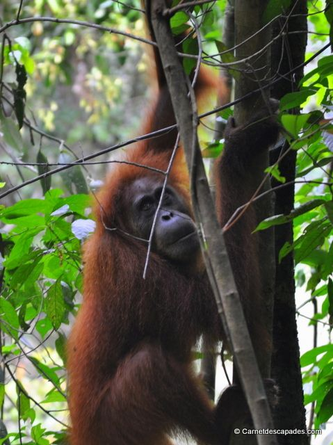 Orang-outan #sumatra #indonésie