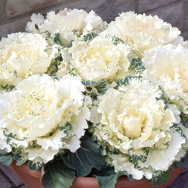 Ornamental Cabbage Northern Lights White (6 plants)