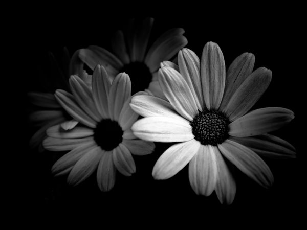 Flowers Black And White Plants 1600x1200 Wallpaper Wallpapers