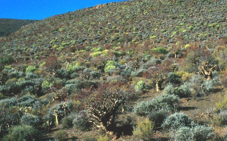 succulent karoo biome - Google Search