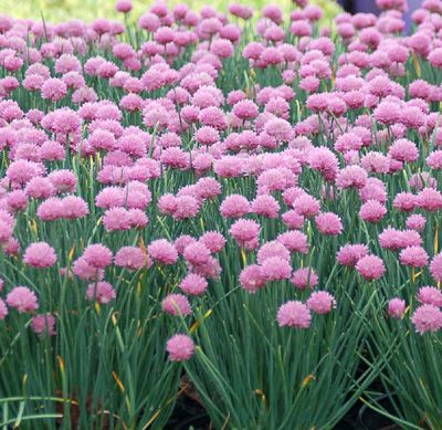 """ALLIUM SCHOENOPRASUM 'RISING STAR'—Add to your shopping cart: 1 plant $16.95 3 plants $48.00 Other Quantity:   ☆ATTRACTS BUTTERFLIES OR HUMMINGBIRDS   Extra dwarf lavender-pink chives bloom in May. Fine, grassy, grey-green foliage looks nice all season long. Size: 10-12"""" tall x 10-12"""" wide. Plant zones: 3-9. Code: 5ALLRIST.  Genus/Common Name: Allium/Ornamental Onion"""